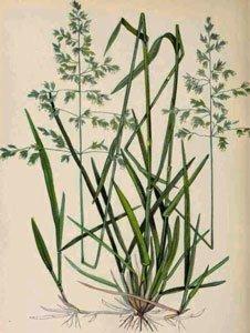 декоративная трава мятлик