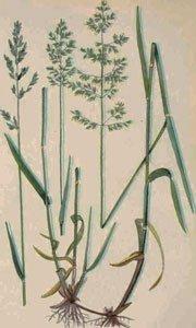 декоративная трава овсяница