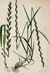 декоративная трава райграсс