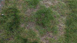 газон лилипут отзывы