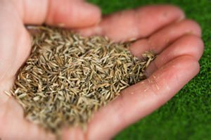Семена декоративной травы