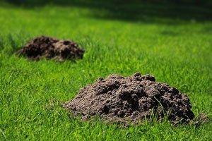 Вредители газона: Кроты