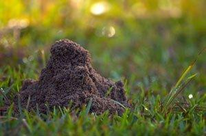 Вредители газона: Муравьи