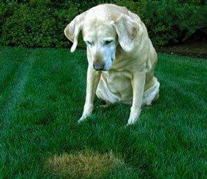 Вредители газона: Собаки